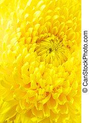 chrysanthème, gros plan, jaune