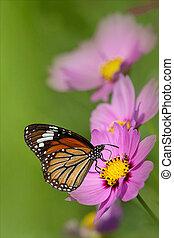 chrysanthème, haut, fermé, butte