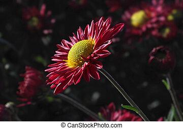 chrysanthème, jardin