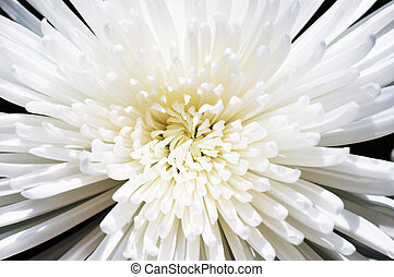 chrysanthème, neige blanche