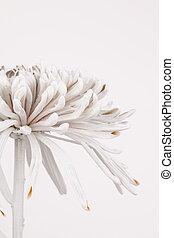 chrysanthème, partiel, vue côté