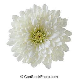 chrysanthème, unique, blanc