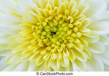 chrysanthème, white.