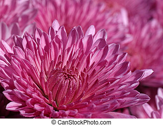 chrysanthèmes, jardin