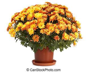 chrysanthèmes, pot fleurs