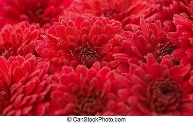 chrysanthèmes, rouges