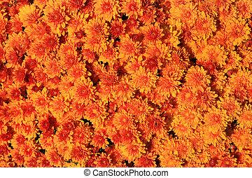 Background of Chrysanthemum red flowers