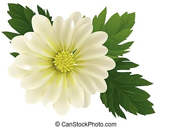 chrysanthemum with leaves isolated on white background
