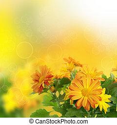 Chrysanthemum floral background - Chrysanthemum orange and...