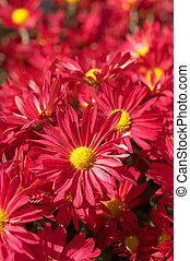 Chrysanthemum flower bed