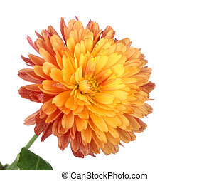 Chrysanthemum Flower Head Isolated
