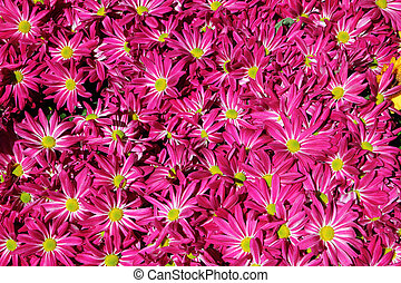 Chrysanthemum flower in the garden background
