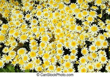 Chrysanthemum flower in the garden background
