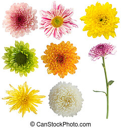 chrysanthemum flower isolated collection set