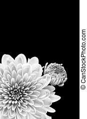 Black and white close up of chrysanthemum flower and bud, isolated on black.