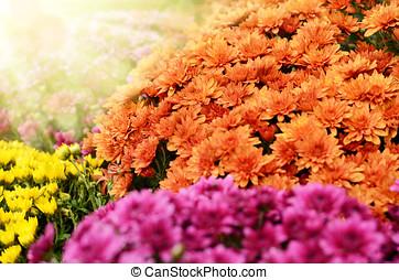Chrysanthemum flowers background - Yellow orange and purple...