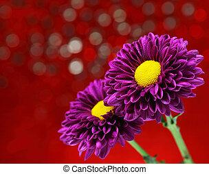 Close-up chrysanthemum flowers on a purple background decoration.