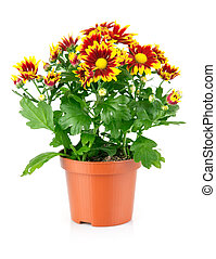 chrysanthemum flowers with green leaves in pot