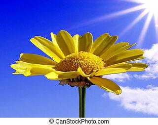 chrysanthemum illuminated bright sun on blue background