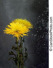 Chrysanthemum in a mirror