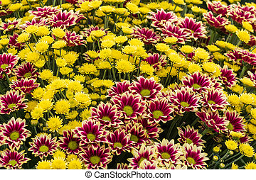 Chrysanthemum in full flower close up