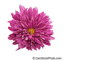 Chrysanthemum lilac