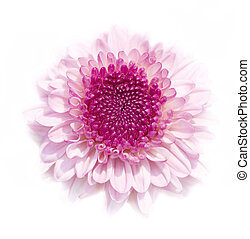 Chrysanthemum. - Pink Chrysanthemum isolated on white...