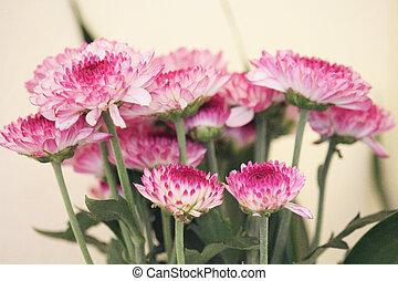Chrysanthemum, purple flowers