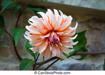 chrysanthemum single flower - beautiful chrysanthemum single...
