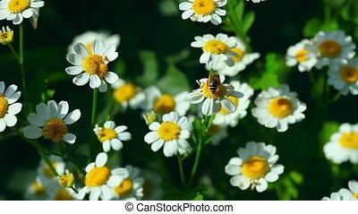 Chrysanthemum - White chrysanthemum flowers with yellow...