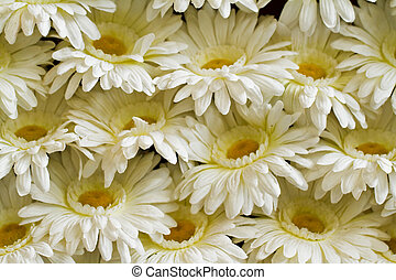Chrysanthemum white.