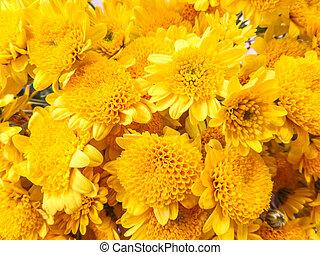 Chrysanthemum yellow bloom
