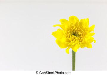 chrysanthemum yellow flower isolated