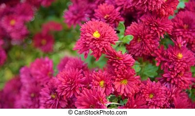 Chrysanthemums autumn flowers, Autumn flowers