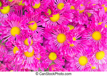 chrysanthemums background'