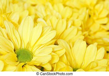Chrysanthemums - Closeup of a bunch of yellow chrysanthemums
