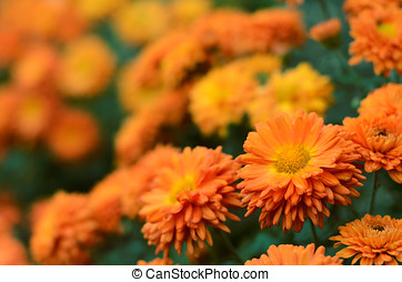 Chrysanthemums - Colorful autumnal chrysanthemum background...