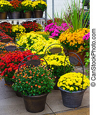 Chrysanthemums - Display of colorful autumn chrysanthemums