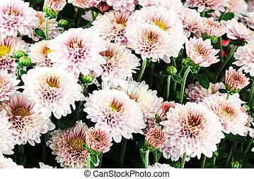 Full frame of beautiful pink Chrysanthemum flowers.