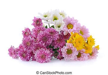 chrysanthemums, fundo branco