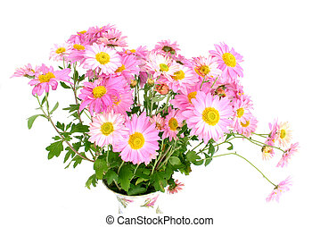 chrysanthemums (in vase)