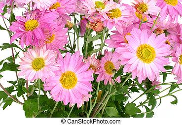 chrysanthemums on white #4