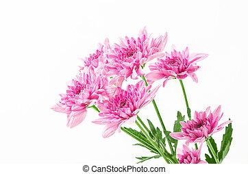 chrysanthemums on white.
