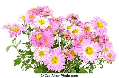 chrysanthemums, op, wh