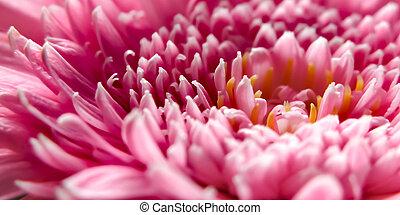 Chrysanthemums Pink Flower - Macro