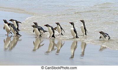 chrysocome), rockhopper, pingüinos, (eudyptes