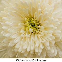 chryzantéma, white.