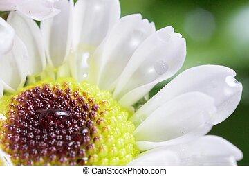 chryzantema, biały kwiat, do góry szczelnie