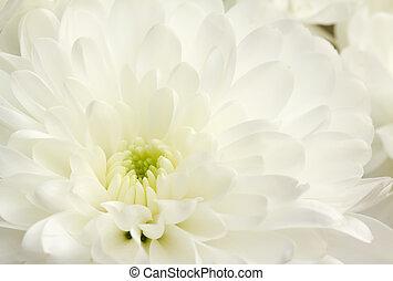 chryzantema, wizerunek, biały, do góry szczelnie