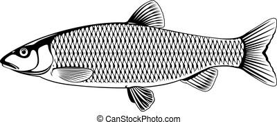 chub, fish, 黒, 白